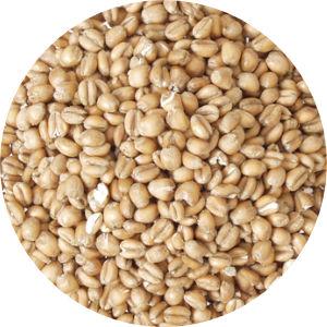 Torrified Wheat Image